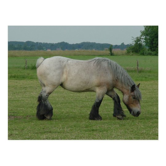 Belgian Draught   Horse-colour grey grazing Postcard