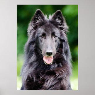 Belgian Groenendael dog, Belgian Shepherd photo Poster