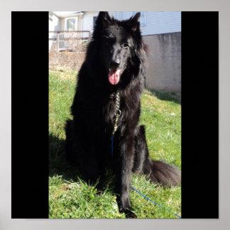 "Belgian Shepherd aka ""The Black Wolf"" Poster"