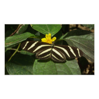Belize butterfly poster