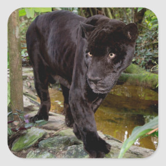 Belize City Zoo. Black panther Square Sticker
