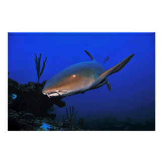 Belize Nurse Shark Poster