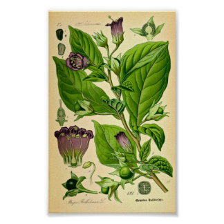 Belladonna / Deadly Nightshade (Atropa belladonna) Poster