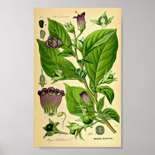 Belladonna / Deadly Nightshade (Atropa belladonna) Posters