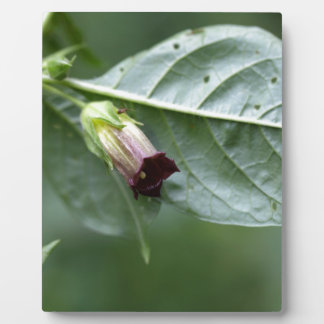 Belladonna or deadly nightshade (Atropa belladonna Plaque