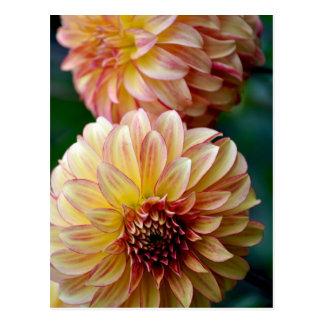 Belle copie de fleur de dahlia cartes postales