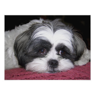 Belle The Shih Tzu Poster