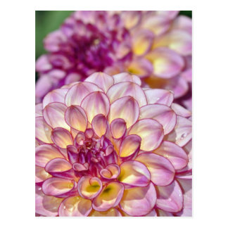 Belles fleurs roses de dahlia cartes postales