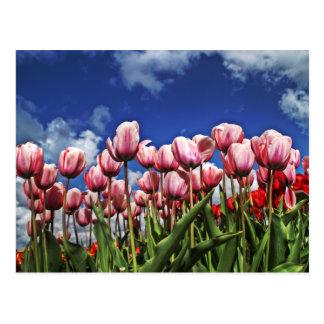 Belles tulipes cartes postales