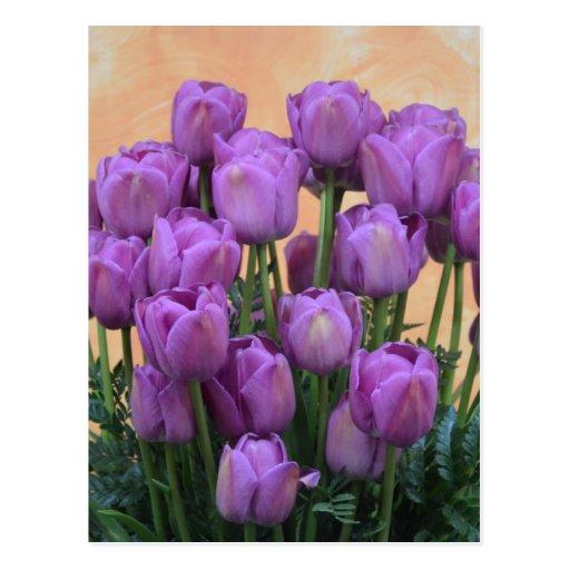 Belles tulipes pourpres de ressort cartes postales