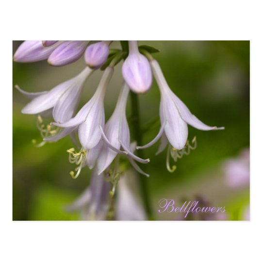 Bellflowers Postcard