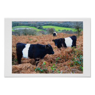 Belted Galloway cattle Poster