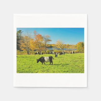 Belted Galloway Cows Grazing On Grass In Fall Disposable Napkins