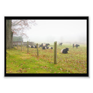 Belted Galloway Cows in Rockport Maine Photographic Print