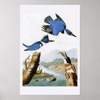 Belted Kingfisher John Audubon Birds of America Poster