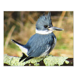 Belted Kingfisher Photo Print