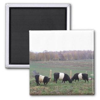 Beltie Cow Herd in Fall Square Magnet