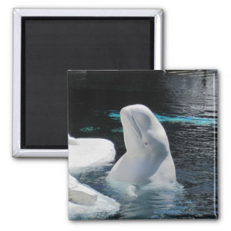 Beluga Whale Gifts Magnet