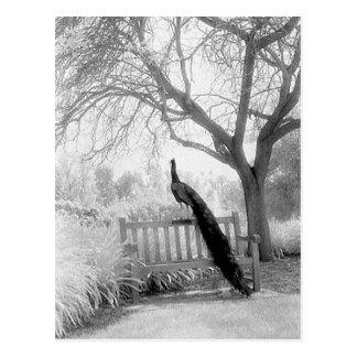Bench Peacock Postcard