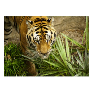 Bengal Tiger - ACEO 2 Large Business Cards (Pack Of 100)