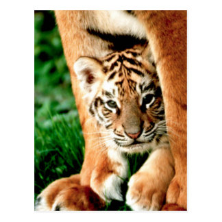 Bengal Tiger Cub Peers Out Postcard