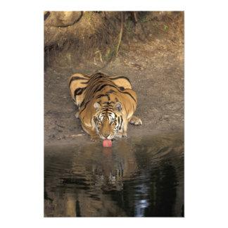 Bengal Tiger drinking Panthera tigris) Photograph