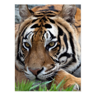 Bengal Tiger in grass Postcard
