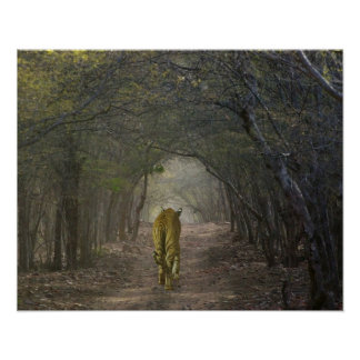 Bengal Tiger in the forest in Ranthambore Poster