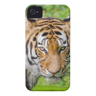 Bengal Tiger on Green Grass iPhone 4 Cases