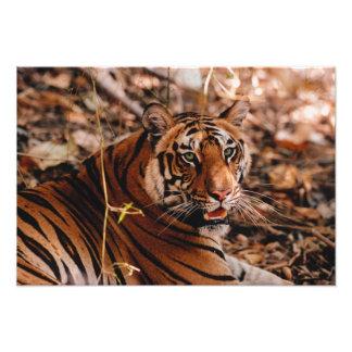 Bengal Tiger, Panthera tigris, Bandhavgarh 2 Photographic Print