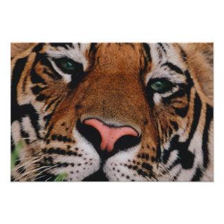 Bengal Tiger, Panthera tigris, Bandhavgarh 3 Photograph