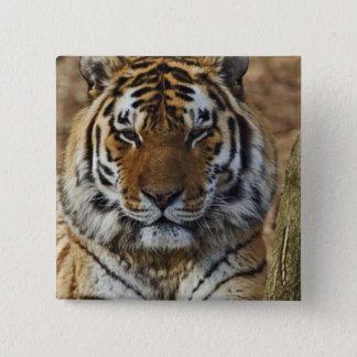 Bengal Tiger, Panthera tigris, Louisville Zoo, 2 Inch Square Button