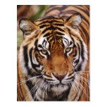 Bengal Tiger, Panthera tigris Post Card