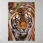 Bengal Tiger, Panthera tigris Poster