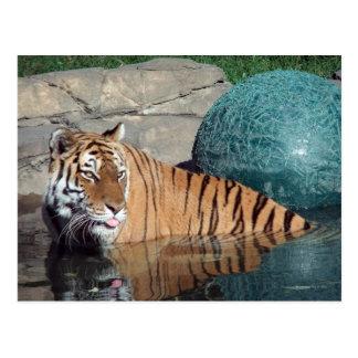 Bengal Tiger Postcard #1
