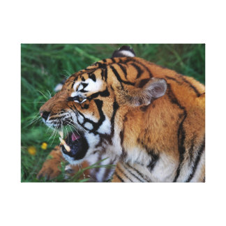 Bengal Tiger showing its fangs Canvas Print