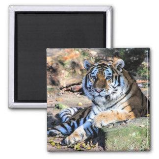 Bengal Tiger Square Magnet