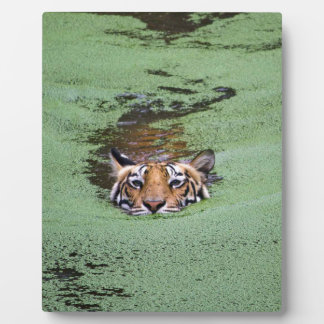 Bengal Tiger Swimming Plaque