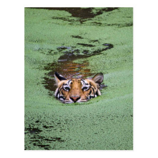 Bengal Tiger Swimming Postcard