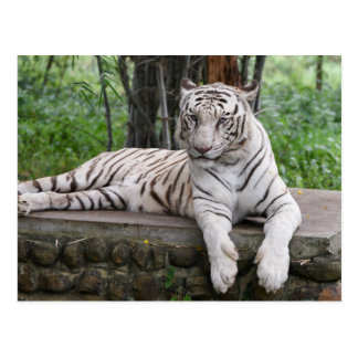 Bengal white Tiger Postcard