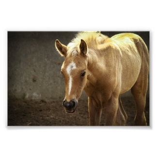 Berber foal photo print