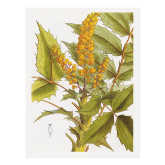 Berberis nepalensis postcard