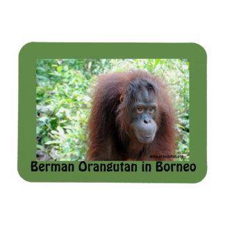 Berman Orangutan in Borneo OFI Magnet