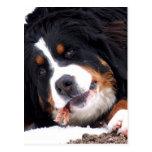 berna sennen dog with chicken foot postcard