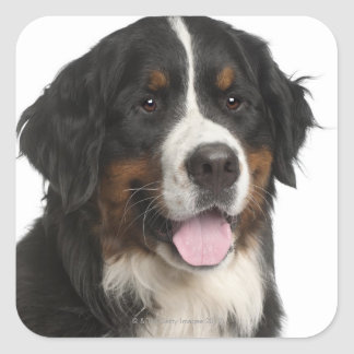 Bernese Mountain Dog (1 year old) Square Sticker