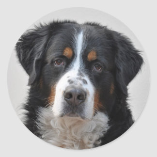 Bernese Mountain dog beautiful photo, gift Round Sticker