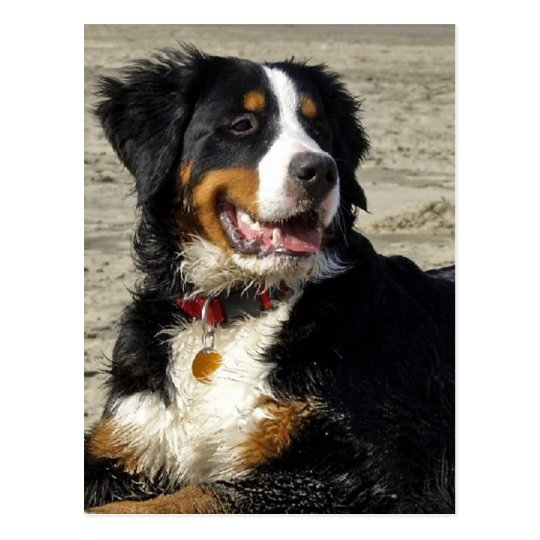 Bernese Mountain dog beautiful photo postcard
