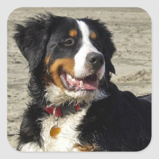 Bernese Mountain dog beautiful square stickers