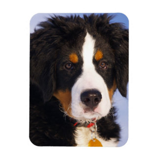 Bernese Mountain Dog - Cute Puppy Photo Magnet