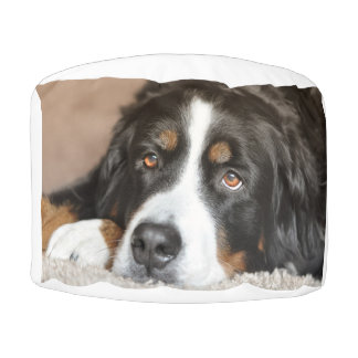 bernese mountain dog laying pouf
